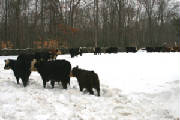 Resized402011wintercows.JPG