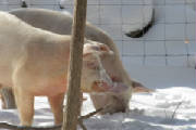 Resized47pigs2010winter.JPG
